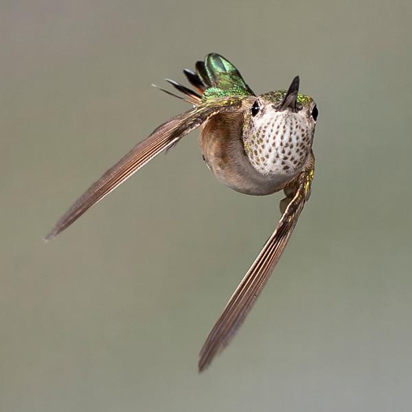 Hummingbird Mid-Turn