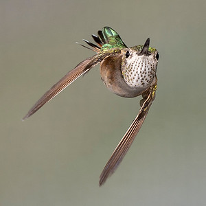 Hummingbird Mid-Turn