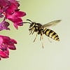 Hovering Yellow Jacket in Flower