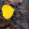 Golden Aspen floating in Stream