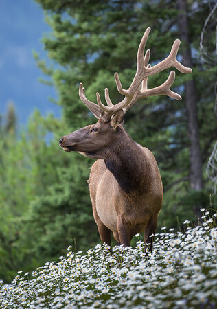 Elk Profile in Bed of Flowers