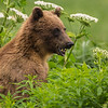 Alaska Grizzly Bear in the Cow Parsnip