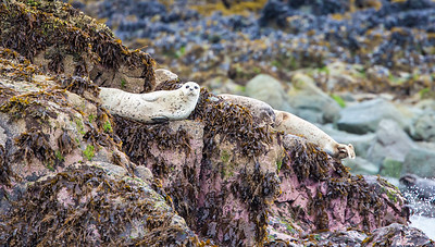 """Alert"", Seal on watch near Homer Alaska"