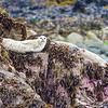 """""""Alert"""", Seal on watch near Homer Alaska"""