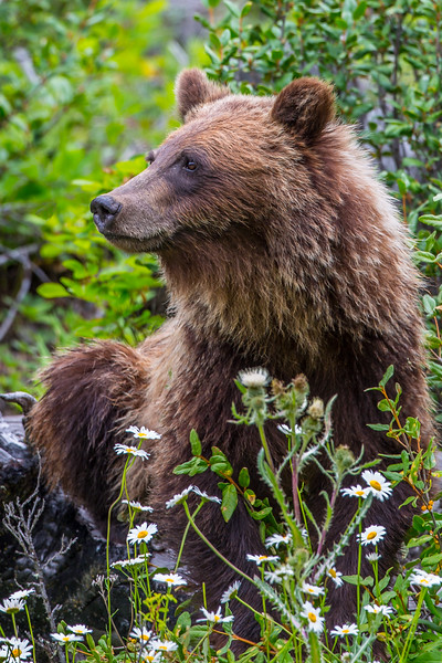 Grizzly Bear in the Flowers