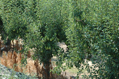 Pears are just one of many fruit crops grown in the Okanagan Valley