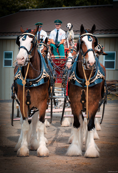Bud Clydesdales