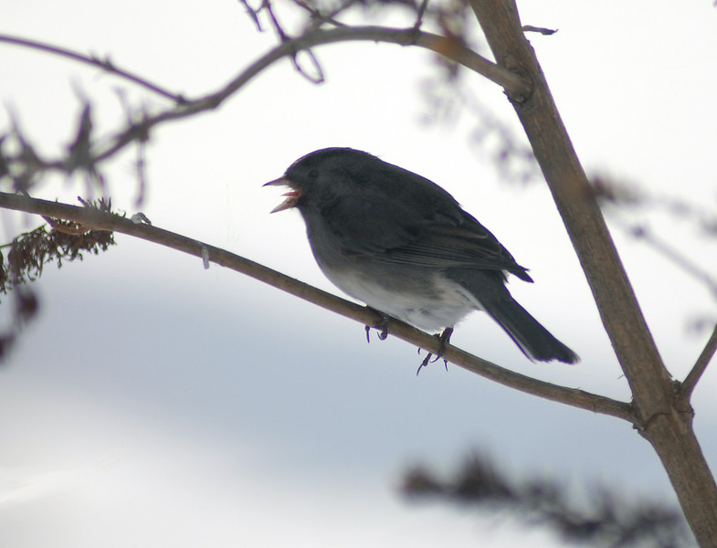 "In the middle of winter it is not wise to stick your tongue out, especially near frosty covered limbs. In the ""dead of Summer"" this might be a baby bird calling for its mother. In the ""dead of Winter"" I can only guess this shot caught the black eyed junco at the peak of a high note."