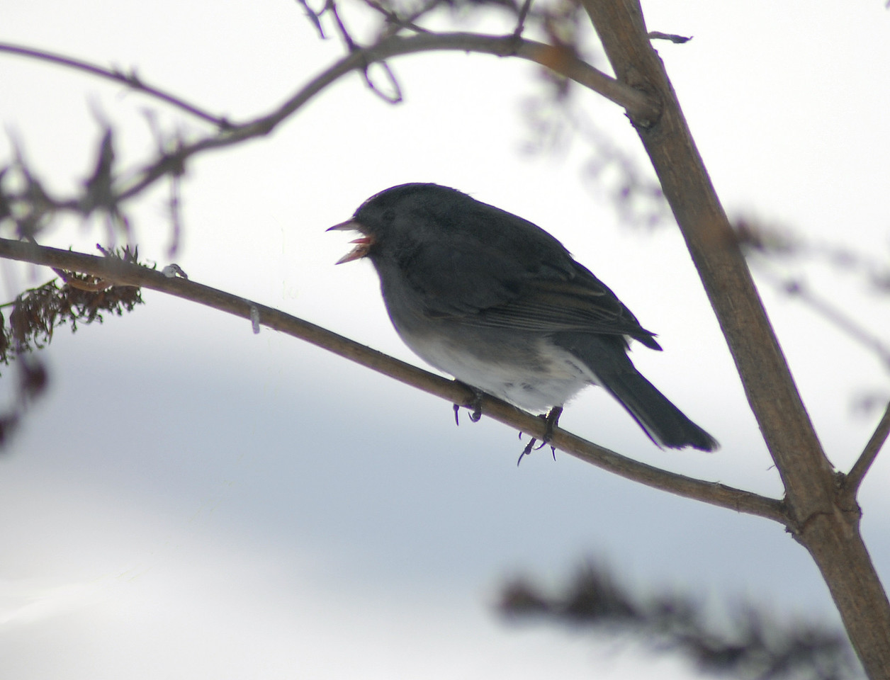 """In the middle of winter it is not wise to stick your tongue out, especially near frosty covered limbs. In the """"dead of Summer"""" this might be a baby bird calling for its mother. In the """"dead of Winter"""" I can only guess this shot caught the black eyed junco at the peak of a high note."""