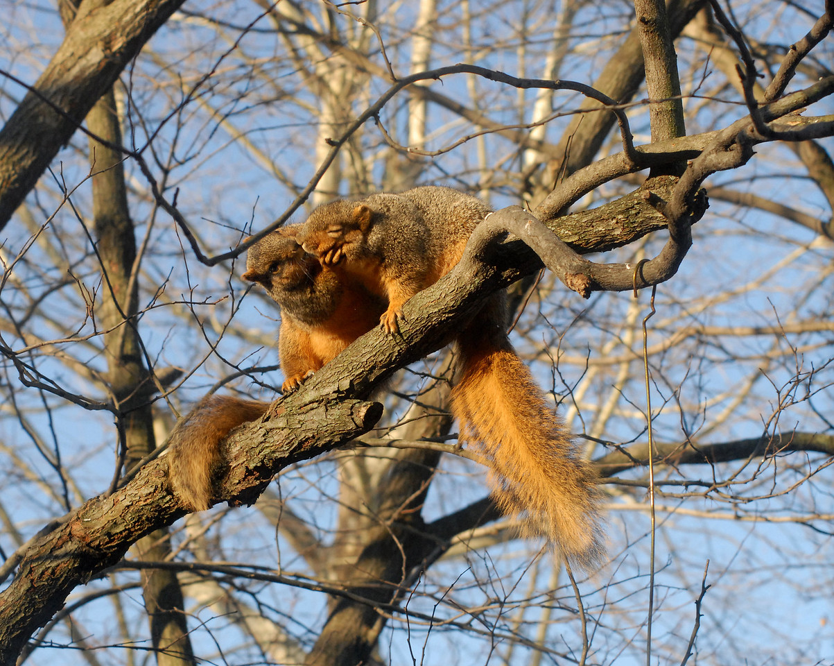 """I observed these two squirrels scurring up this tree one morning and I began to photograph them. Never in my wildest dreams did I ever expect to capture this shot... 2 squirrels kissing! The lead-up shots had the squirrel in the foreground playing """"hard to get."""" The other squirrel had enough of that and grabbed the face of the other squirrel and laid a big kiss on the mouth of the other. This photo is the truth. But it's the photo taken after this event that is the """"true news"""" to this incident..."""