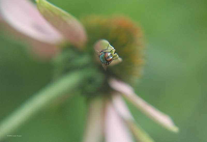 """This fly seemed to be in a """"hybernation-like"""" state. It was right at the tip of a petal of a coneflower. I easily moved around the scene to take many angle shots without it stirring."""