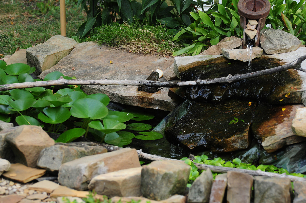 """The """"bird eating"""" frog jumps onto the rock ledge to wait for a victim."""
