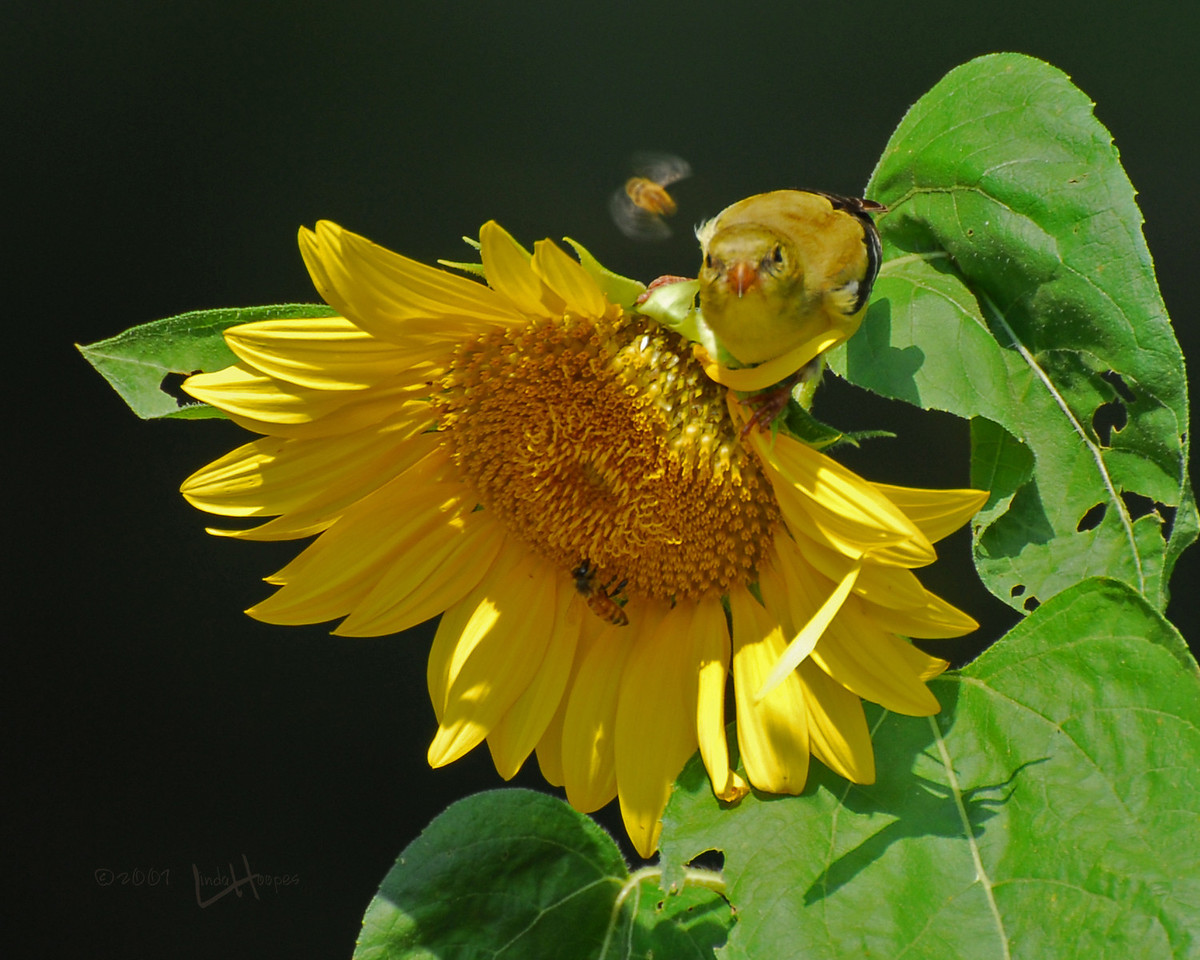 """This hot day in August the Gold Finch """"chowing down"""" on a sunflower ripe with seeds. But the honey bees had the same idea. It looks as though the bird is looking right at the bee in a """"fly by"""" moment. Is the bird contemplating taking a bite out of the bee?"""