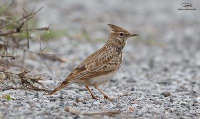 Cochevis huppé/Crested lark