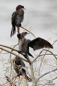 Cormoran pygmée/Pygmy cormorant