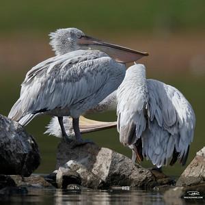 Pélican frisé/Dalmatian pelican