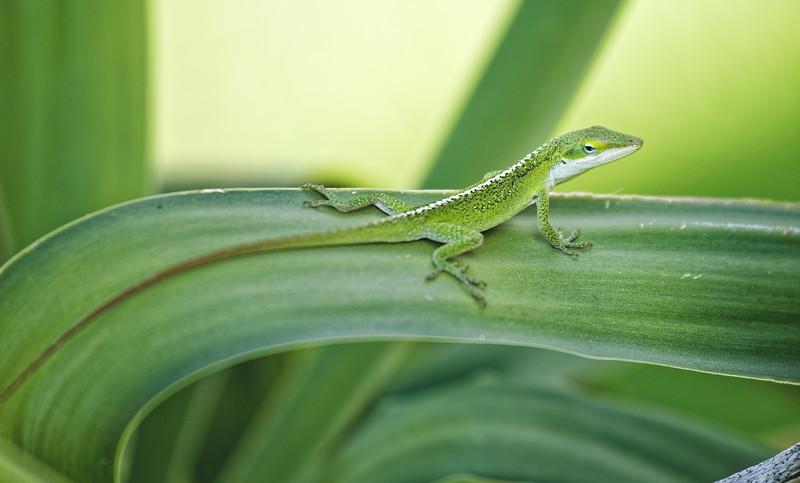 Mr Lizard 1