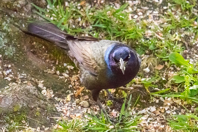 Grackle with That Look