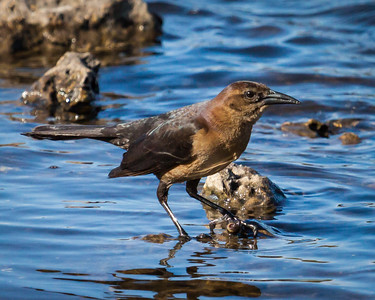 Boat Tailed Female Grackle