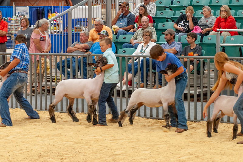 20190822_grady_co_sheep-68
