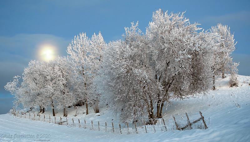 Vintertre V  (Trees and moon)