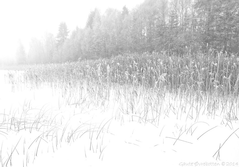 Kald takrørskog. <br /> Frozen reeds.