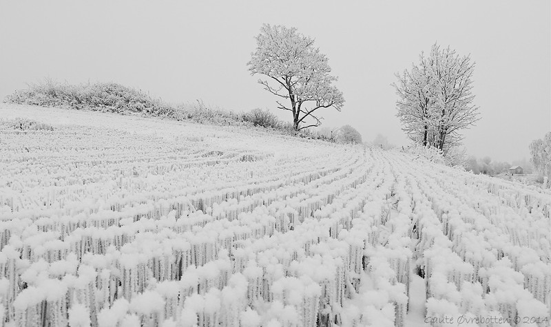 Stubbmark i skodde. (Winter landscape in fog.)