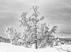 Vintertre II (Snowy birch)