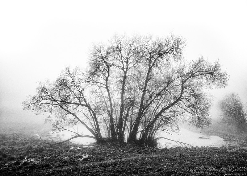 Tåketre (Foggy)
