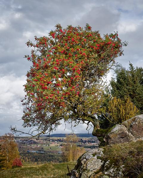 Rogn (Rowan tree)
