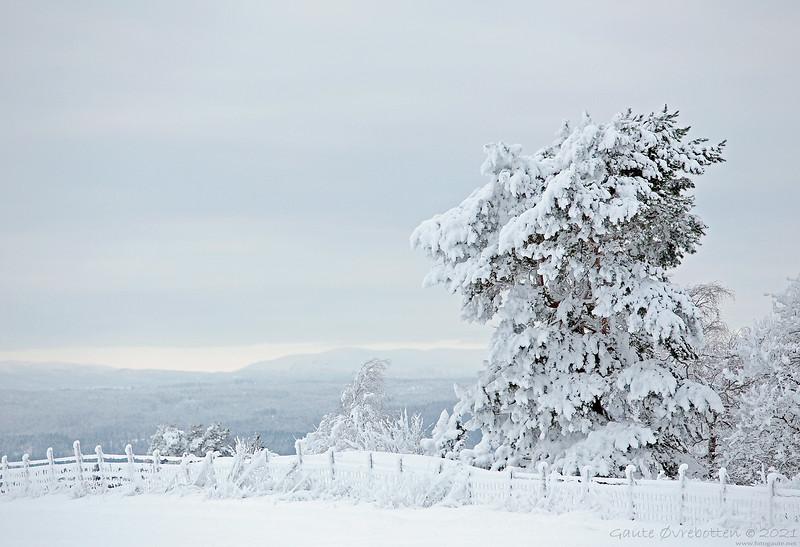 Vintertre I (Pine with a burden)