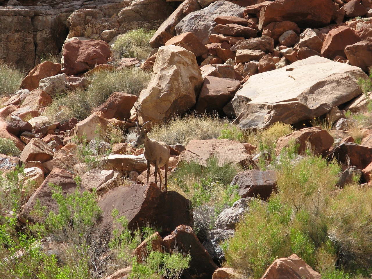 Another Desert Bighorn posing on a rock on the shore.