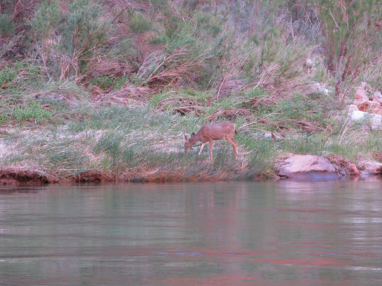 A doe at the river edge.  How did it get down here?  There are cliffs all around this sand bar.