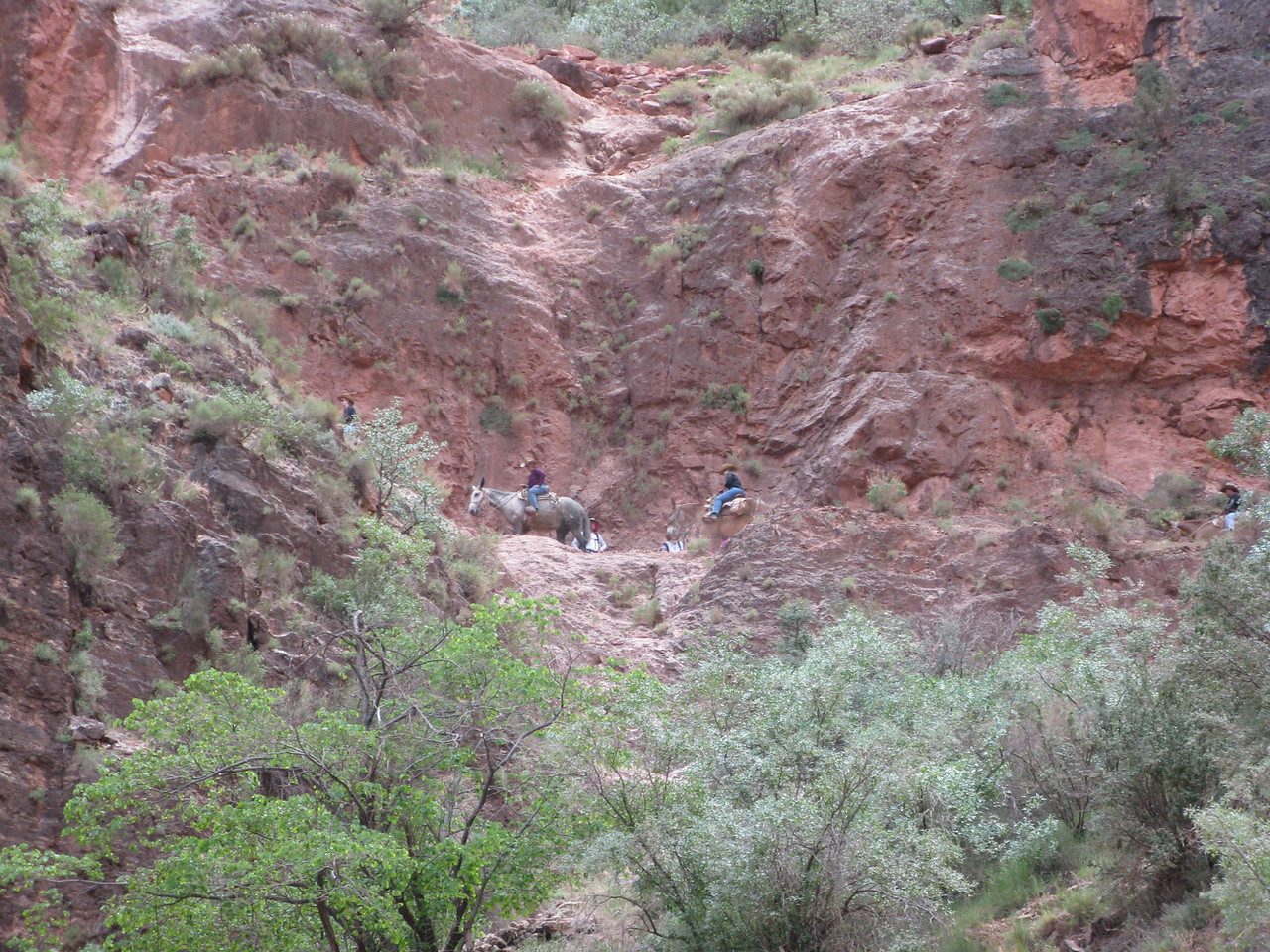 The mules climb the trail at the base of the Redwall limestone cliffs.