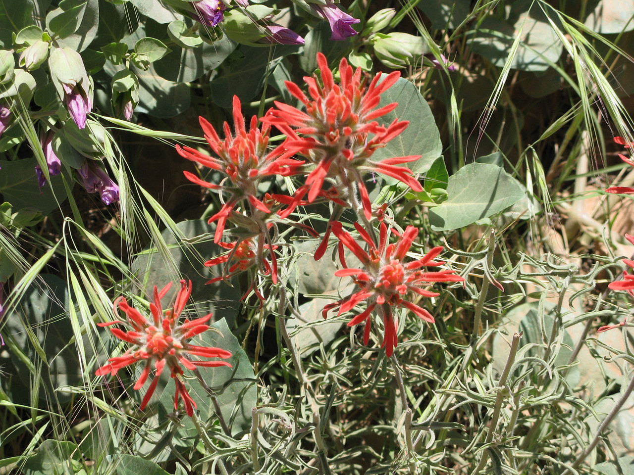 Bright Indian Paintbrush blossomed frequently along the trail.