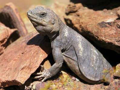 Contestant #72 (Chuckwalla)