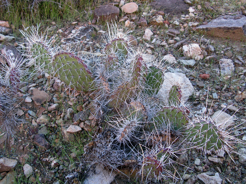 DANGERS ON THE TONTO<br /> <br /> It was too cold during my hike to encounter rattlesnakes or scorpions, but there were plenty of spikey plants to ruin my day out here.<br /> <br /> All kinds of cactus were encountered on the hike, but the Prickly Pear was everywhere on the Tonto.