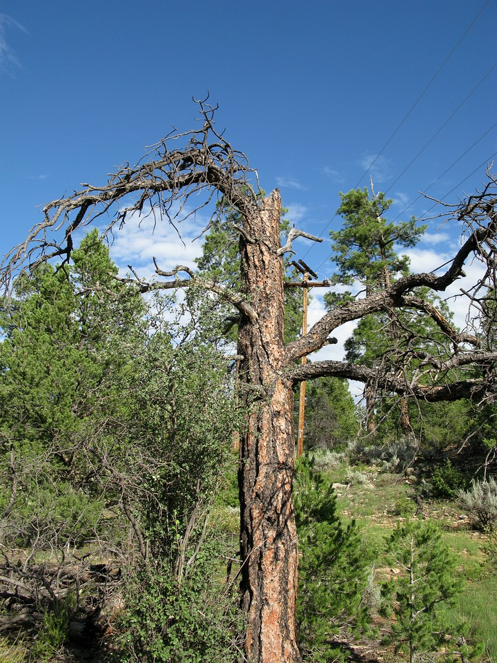"""One of the larger trees broken by the """"Canyon 5"""" accident. This tree is about the same diameter as the one photographed that had the propeller cut."""