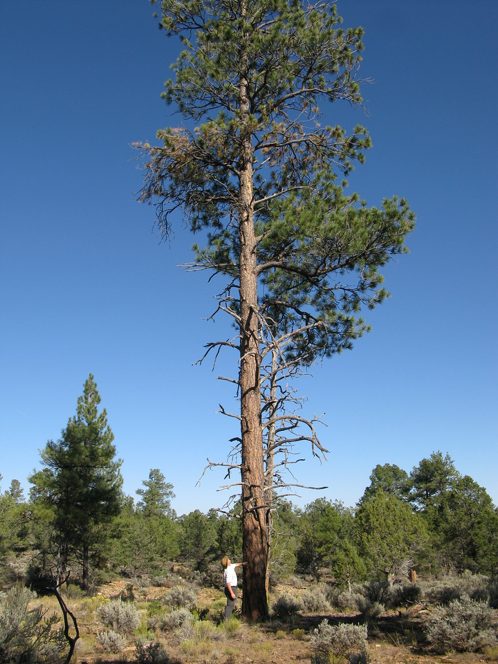 This tall tree was in the aircraft's flight path as it descended into the terrain. There is no doubt that some part of the aircraft struck the tree during accident. The tree pictured is now gone due to a U.S. Forest Service prescribed fire that burned through the area in April 2012.