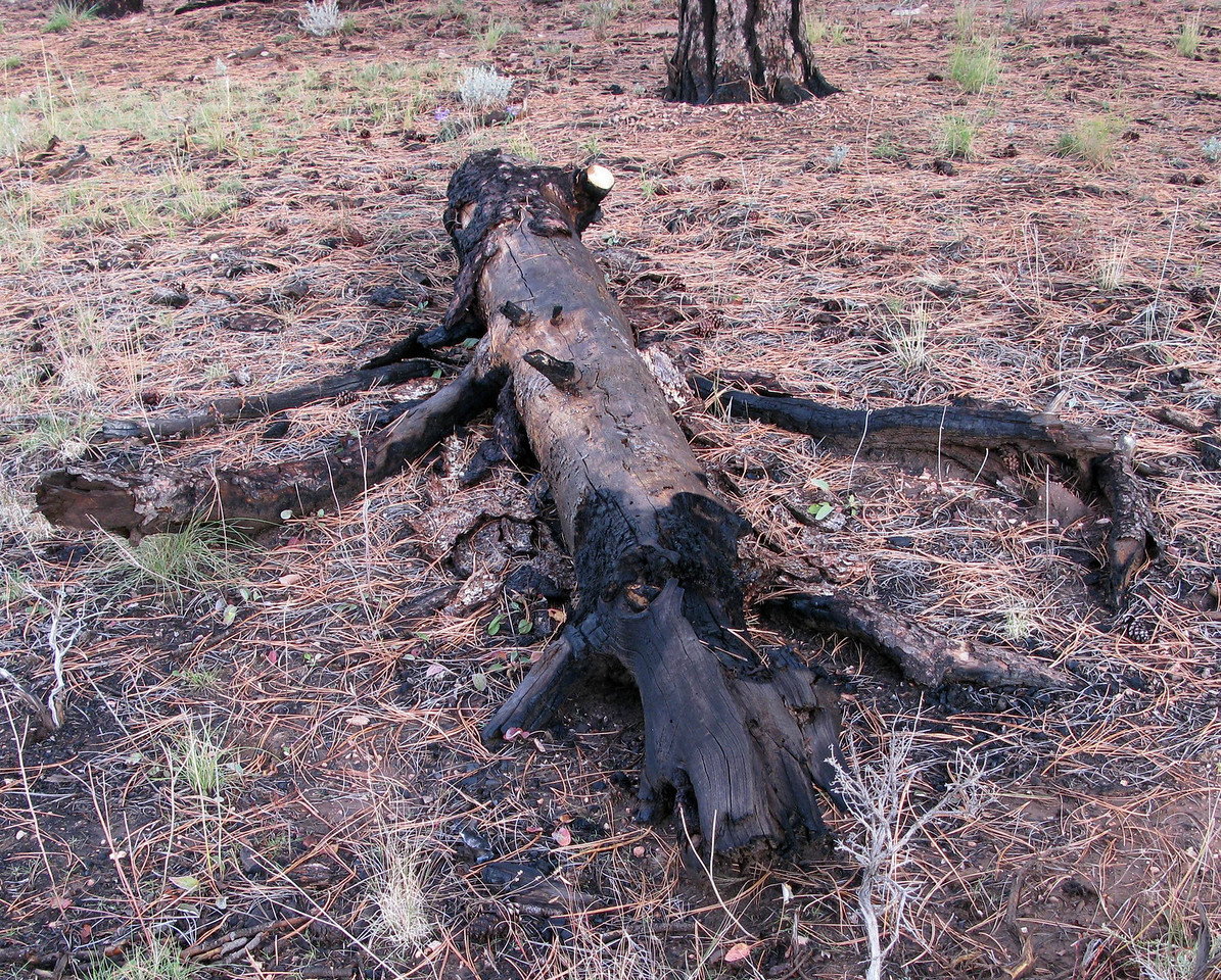 The top 16 feet of the tree that was struck was still lying on the forest floor during my visit to the site.