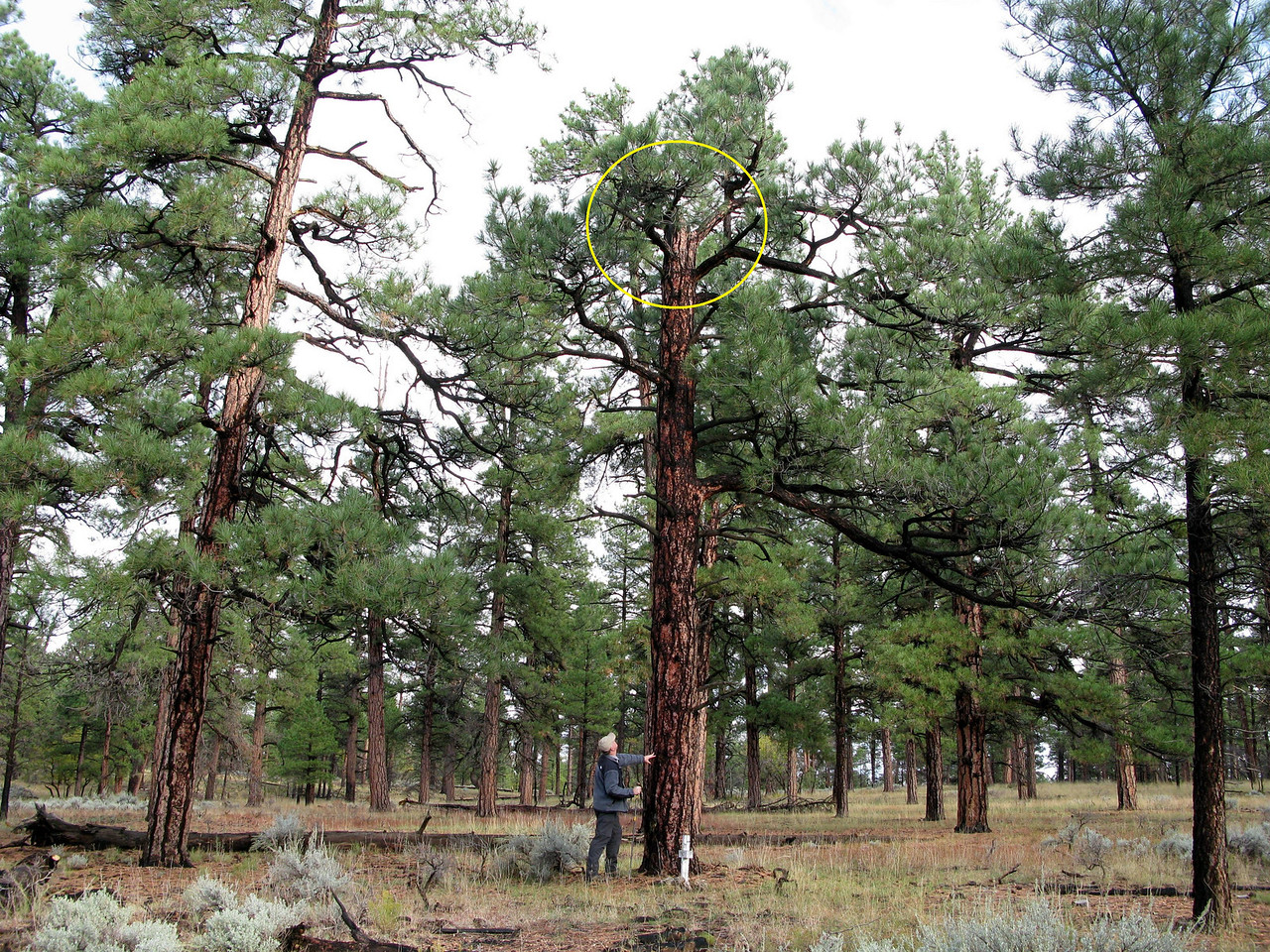 The aircraft initially struck the top of this 60 foot Ponderosa Pine tree breaking off about 16 feet of the upper section which was found lying at the base of the tree.