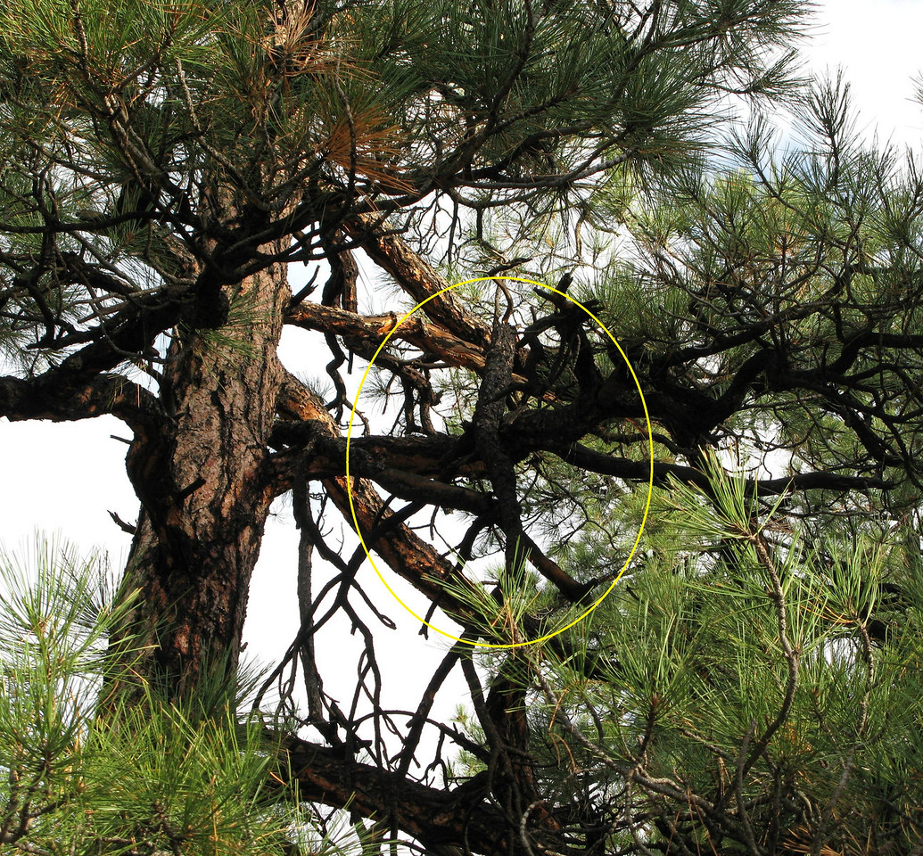 A broken pine tree branch from the initial impact still lies entangled in the branches of an adjacent tree after nearly 11 years.