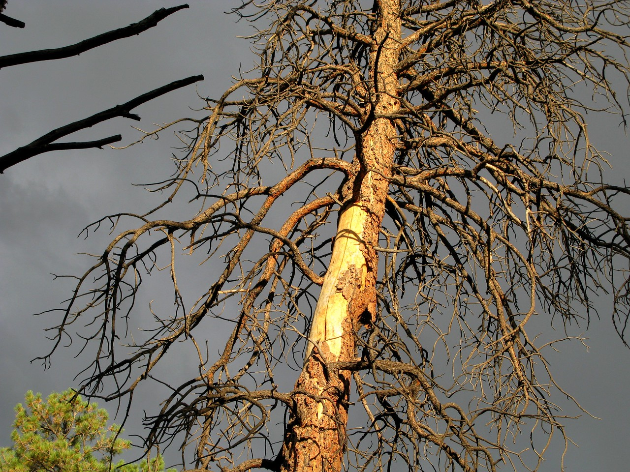 A close-up photo of the damage inflicted to the tree at about the 30 foot level. This was the only tree I located at the site that had impact damage.