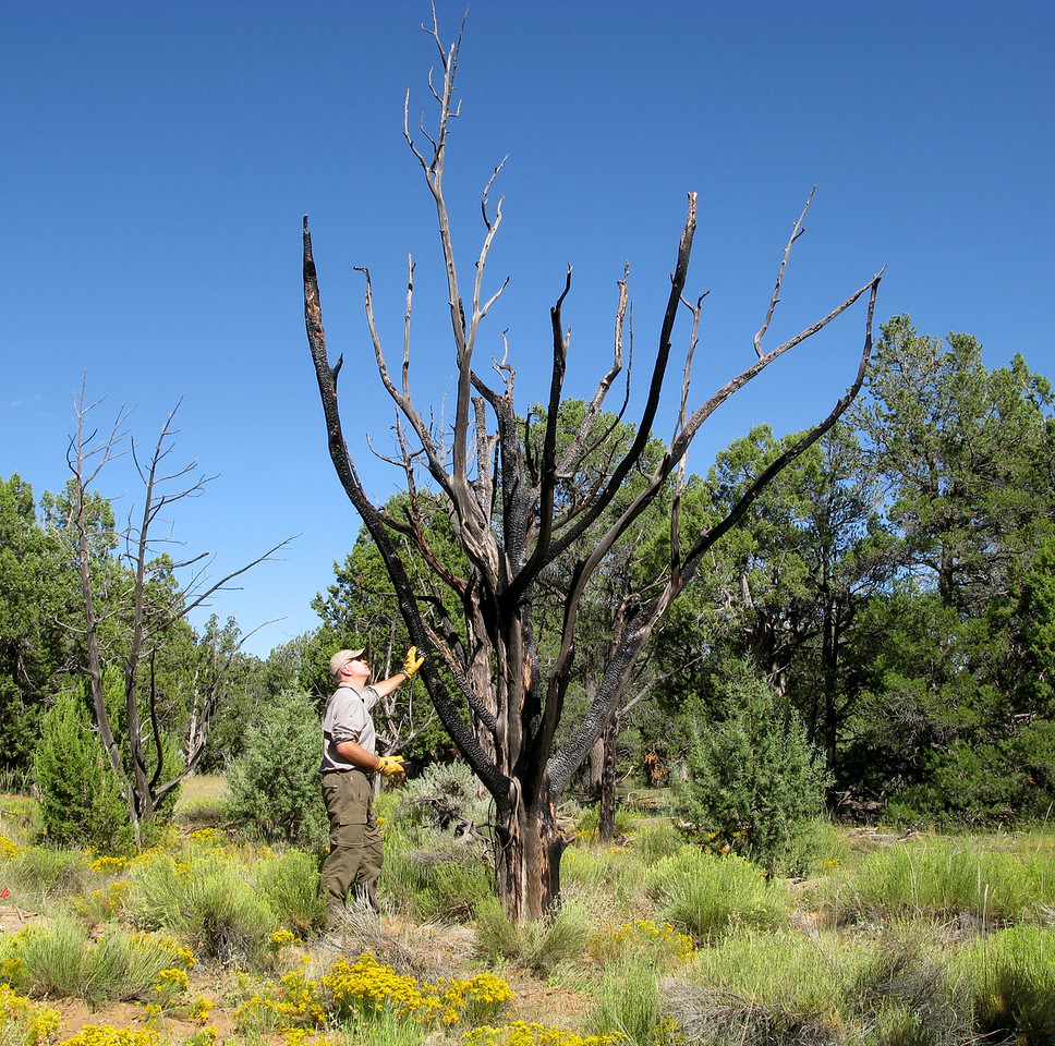 This charred tree is located at the main cabin burn area.