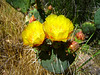 Blooming prickly pear cactus.