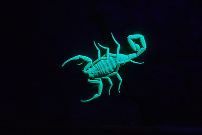 Nighttime  visitor, outed by black light.