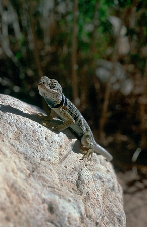 I caught a collared lizard with my camera. He seemed to like getting his picture taken.