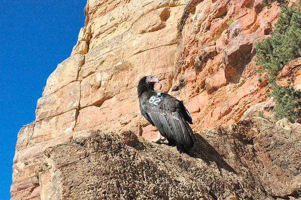 Arizona Calif Condors