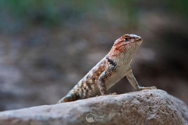 Desert Spiny Lizard.
