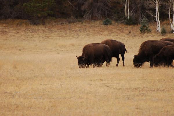 North Rim Bison 10-13-2007